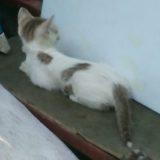 【タイ語のことわざ】タイでは昔、不良な猫は毛を染めていたそうです!